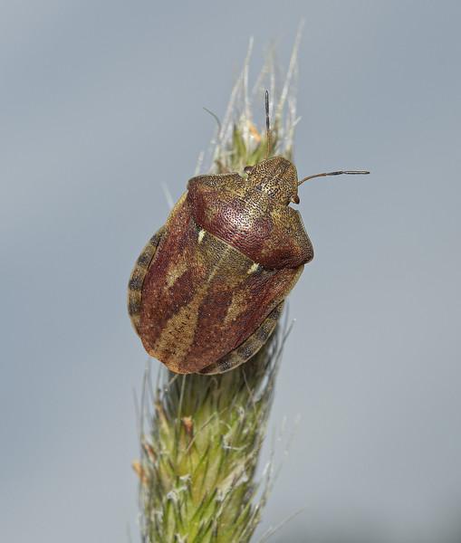 Tortoise Shieldbug - Eurygaster testudinaria, June