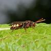 Nomada flava female, June