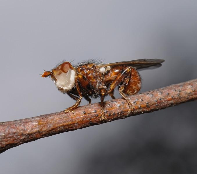 Myopa testacea, April