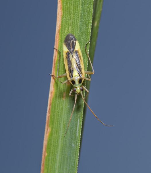 Stenotus binotatus, June