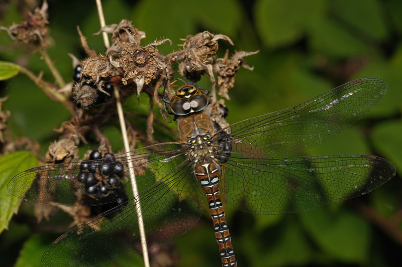 Female Migrant Hawker - Aeshna mixta, August