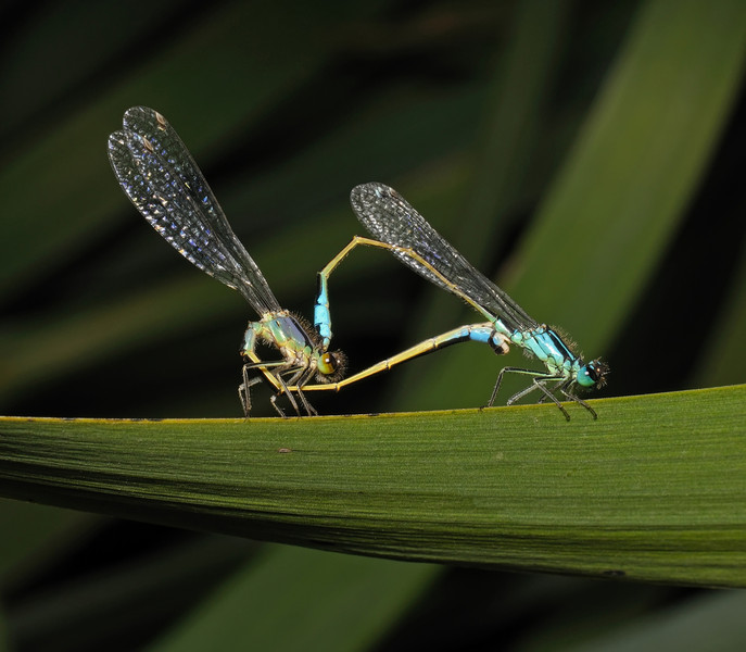 Blue-tailed Damselfly - Ischnura elegans, July