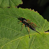 Ichneumon Wasp, June