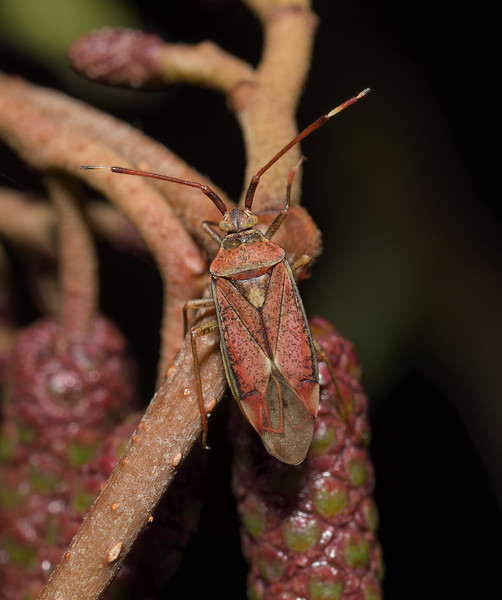 Pantilius tunicatus, October