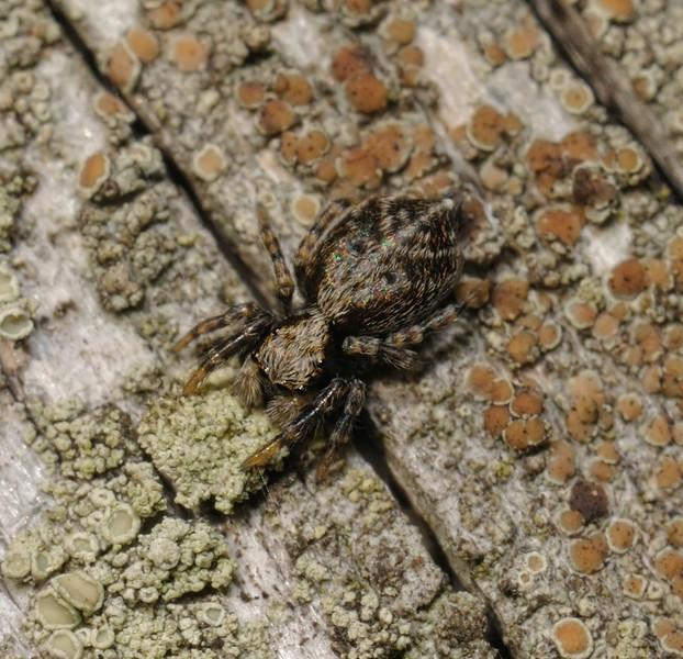 Pseudeuophrys sp, September