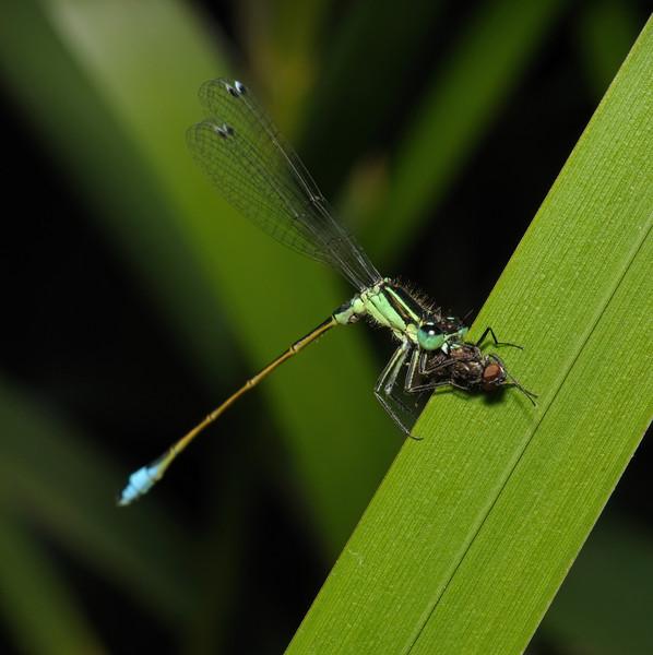 Immature Blue-tailed Damselfly - Ischnura elegans male, July