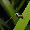 Immature Blue-tailed Damselfly - Ischnura elegans male, July