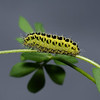 Six-spot Burnet caterpillar, June