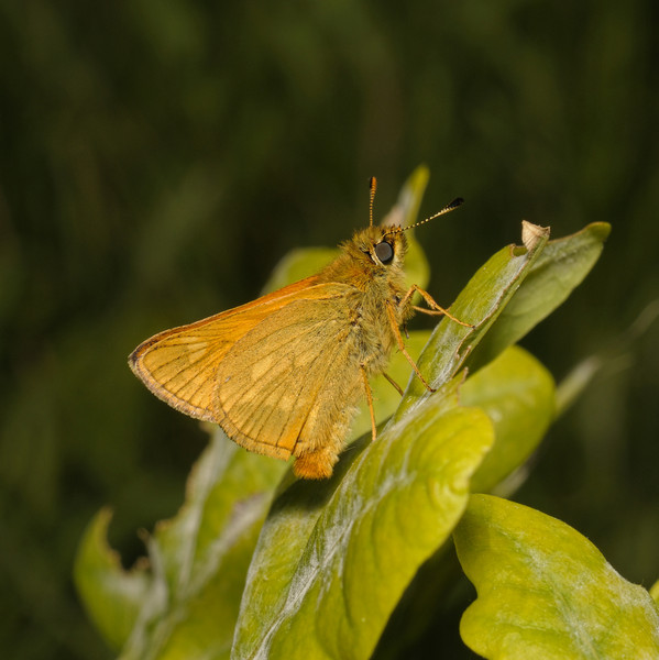 Large Skipper male, May