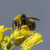 Bombus sp, June