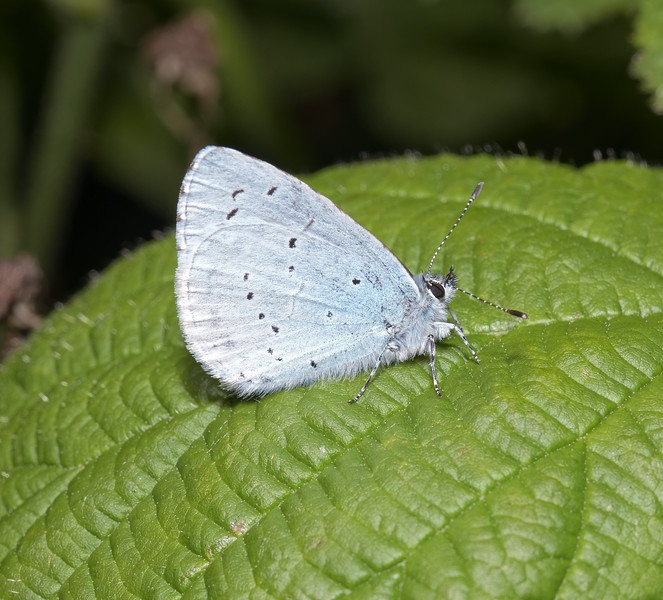 Holly Blue, May