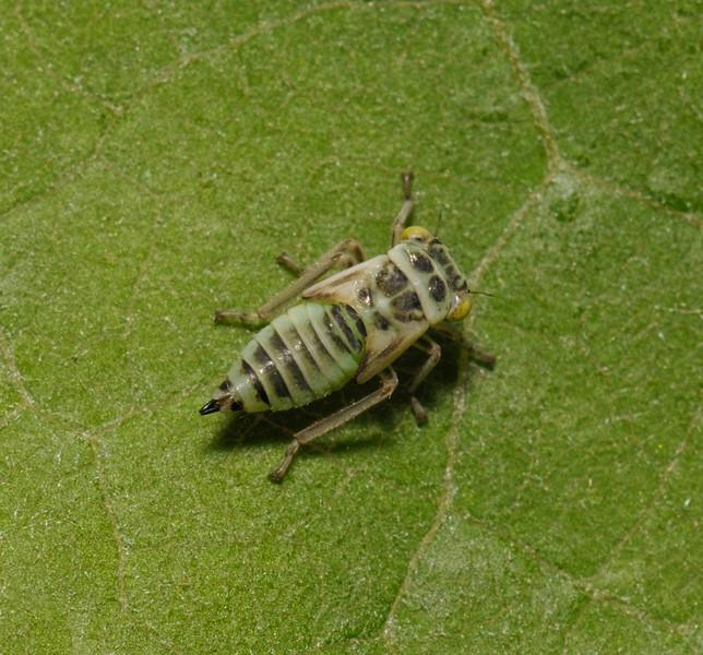 Leafhopper nymph, June