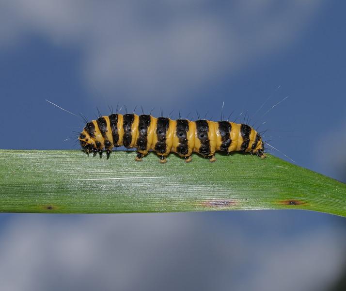 Cinnabar Moth larva, July