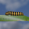 Cinnabar Moth larva, July