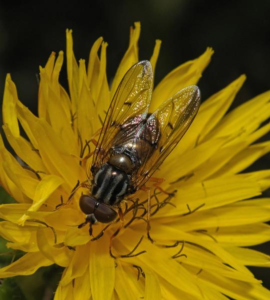 Ferdinandea cuprea male, August
