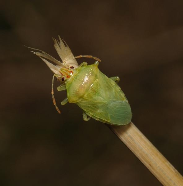 Parent Bug - Elasmucha grisea, August