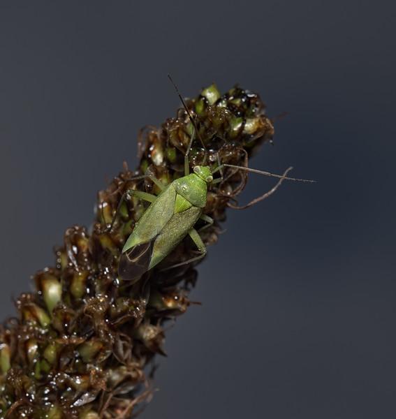 Closterotomus norvegicus, June