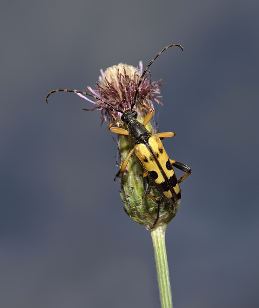 Leptura maculata, August