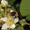 Volucella pellucens female, June
