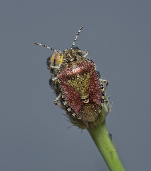 Sloe Shieldbug, Dolycoris baccarum, June
