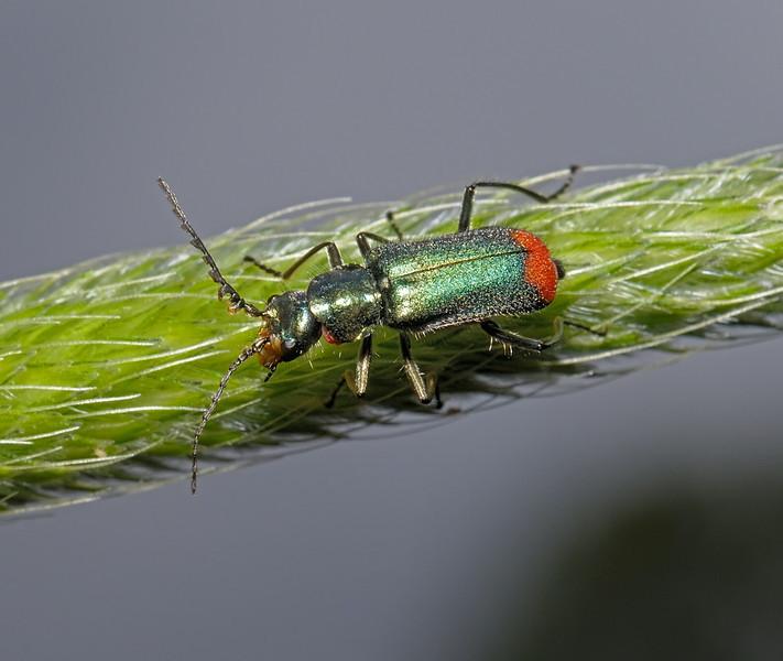 Malachite beetle - Malachius bipustulatus, May