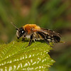 Andrena nitida female, May