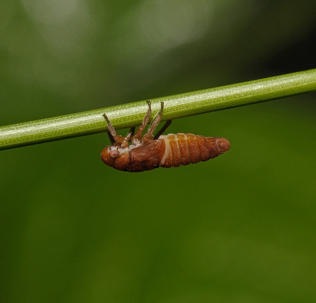 Leafhopper nymph, May
