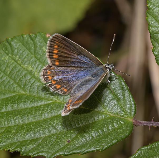 Common Blue female, August