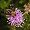 Phasia hemiptera male, July