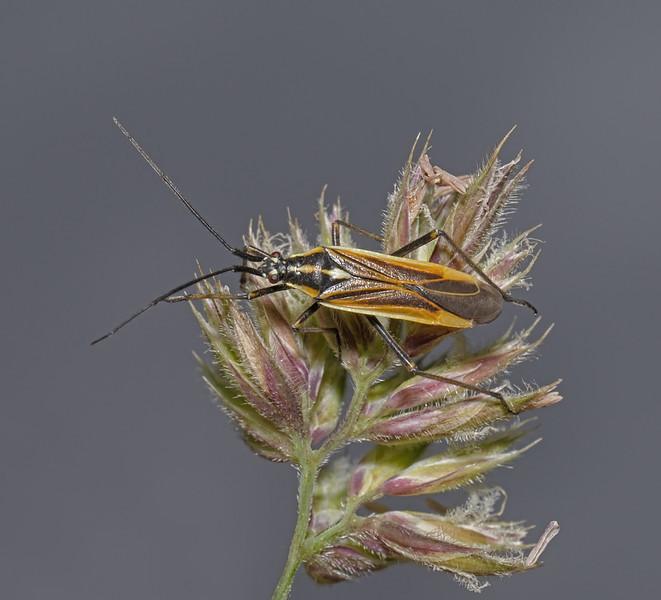 Leptopterna dolabrata male, July