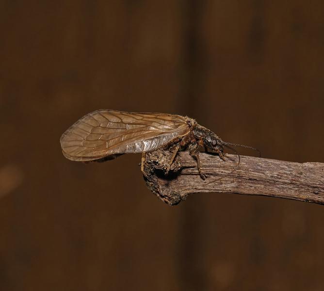 Alderfly - Sialis lutaria, April