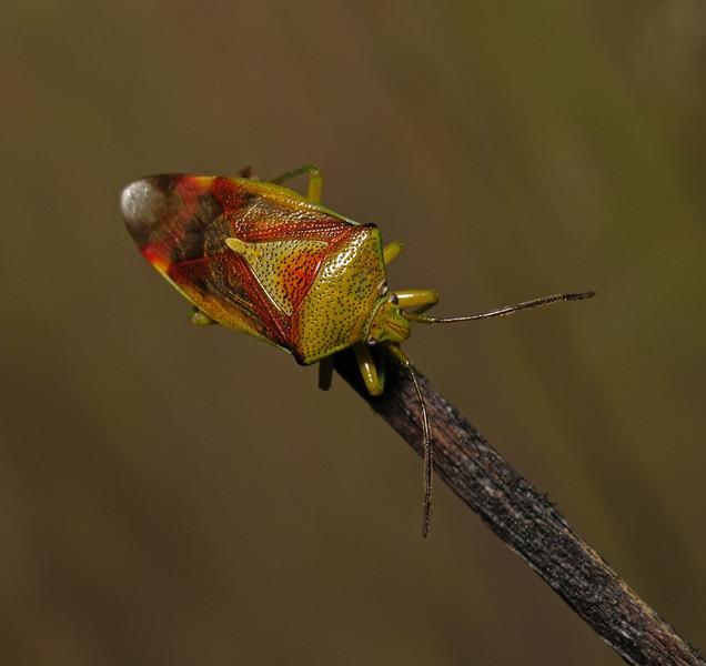 Birch Shieldbug - Elasmostethus interstinctus, November