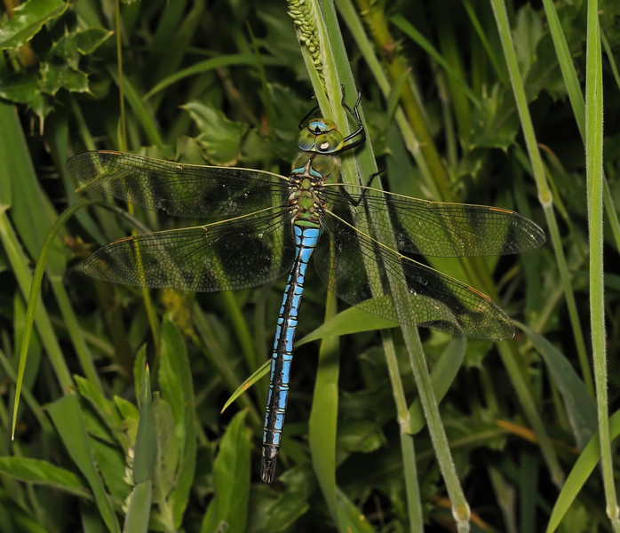 Male Emperor Dragonfly - Anax imperator, June