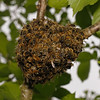 Honey bee nest, May 31st