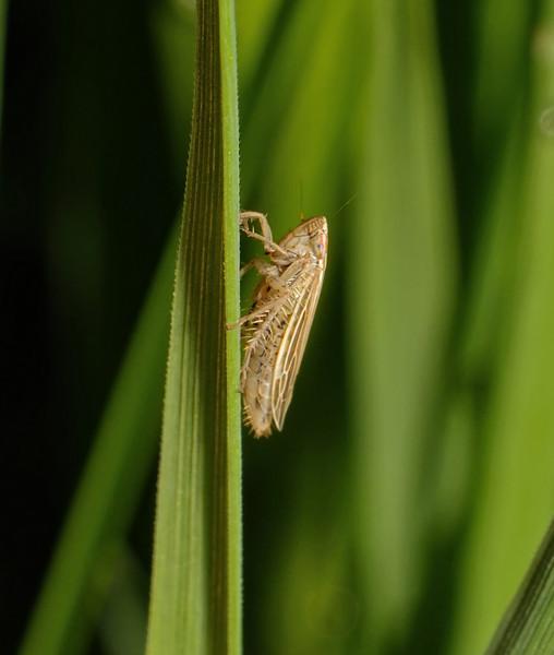 Mocydia crocea, April