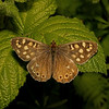 Speckled Wood, April