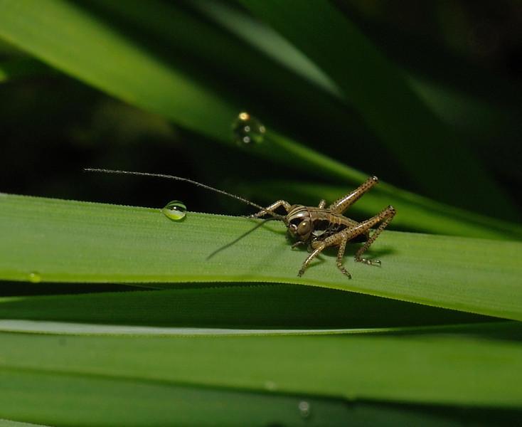 Roesel's Bush Cricket nymph, April