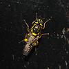 Oxycera rara female, June