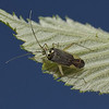 Closterotomus trivialis female, May