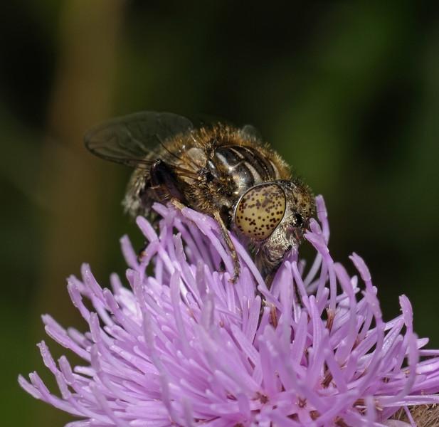 Eristalinus sp, August