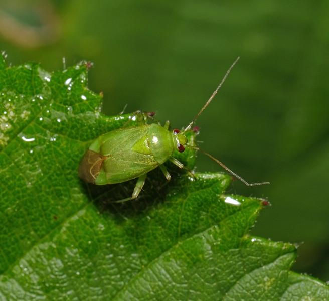 Apolygus spinolae, August