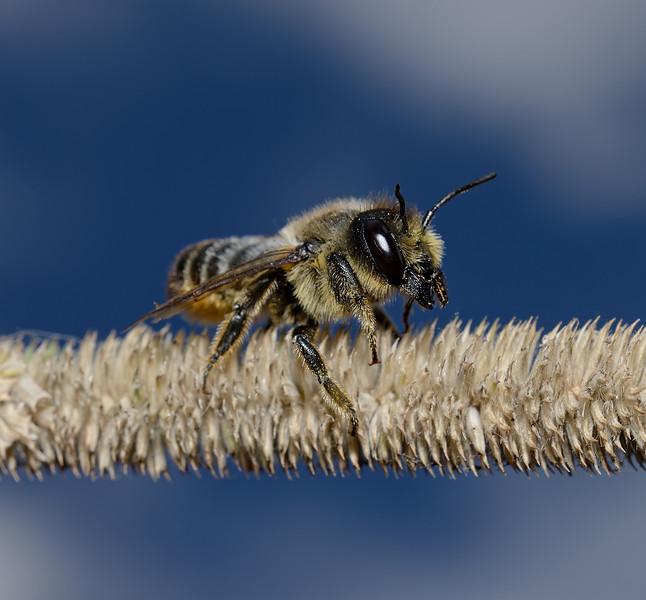 Megachile sp, September