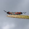 Six-spot Burnet pair, July