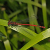 Male Large Red Damselfly - Pyrrhosoma nymphula, May