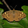 Speckled Wood, September