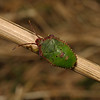 Hawthorn Shieldbug - Acanthosoma haemorrhoidale final instar nymph, September