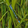 Common Blue Damselfly - Enallagma cyathigerum, July