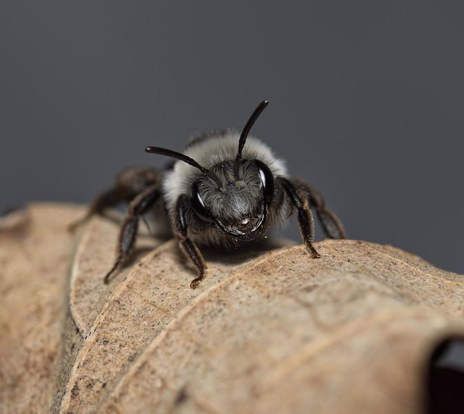 Andrena cineraria, female, April