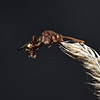 Nomada flava female, May