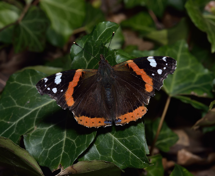 Red Admiral, March